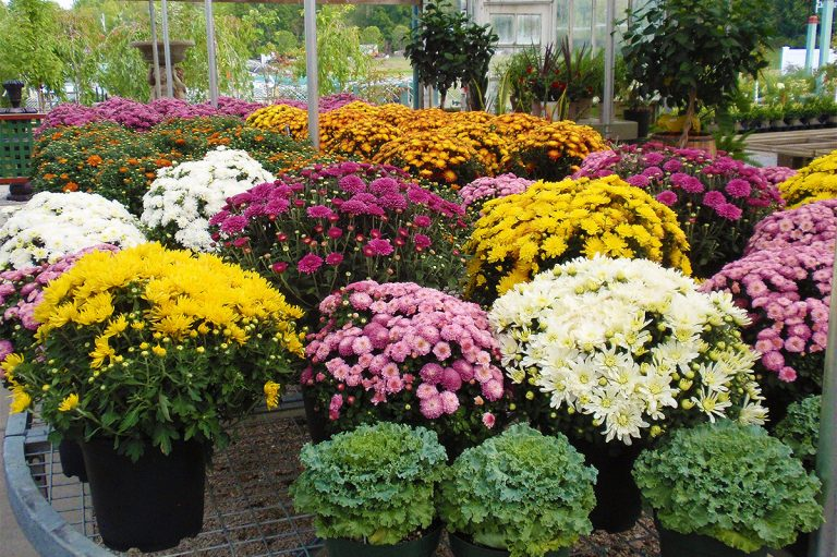 bright colored potted mums and flowers for sale at Bremec of Chesterland