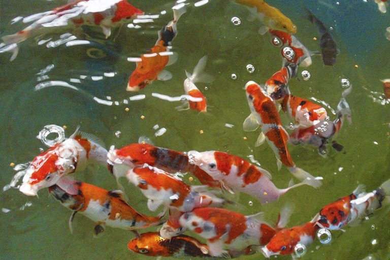 assorted koi fish swimming in a koi pond