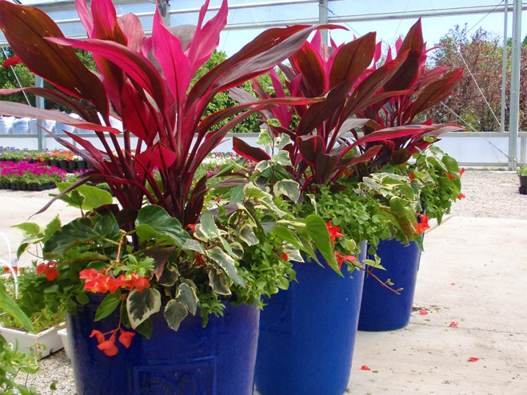 brightly colored plants in large blue pots