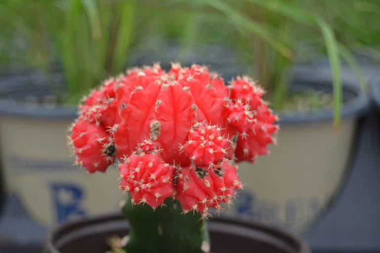 Bremec Cactus houseplants