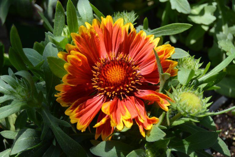 Best Perennials Flowers Near Me