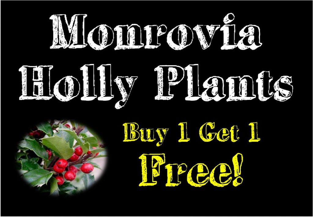 Great Deals Holly Plant Bremec