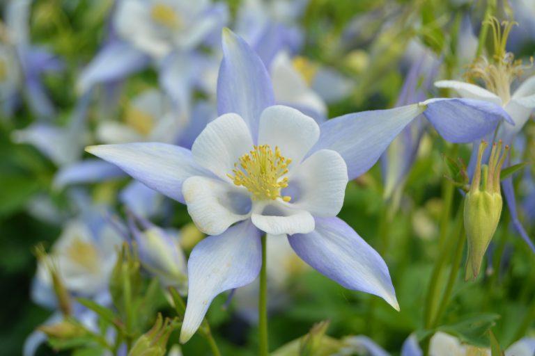 Bremec Perennial Flowers for Sale